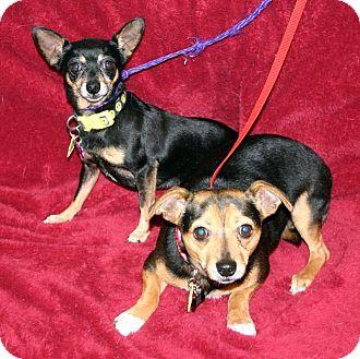 Chihuahua Mix Dog for adoption in Va Beach, Virginia - JoJo