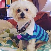 Adopt A Pet :: Sugar - Covina, CA