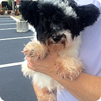 Adopt A Pet :: Isobel - St. Petersburg, FL