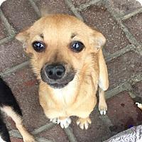 Adopt A Pet :: Bubbles - Encino, CA