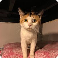 Calico Cat for adoption in Warren, Michigan - Sabrina