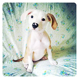 American Bulldog/Beagle Mix Puppy for adoption in Louisville, Kentucky - Jem