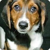 Adopt A Pet :: Fawn - Albert Lea, MN