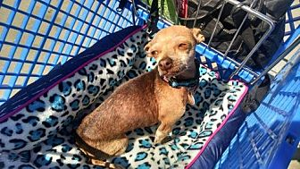 Chihuahua Dog for adoption in Fort Worth, Texas - Bonita