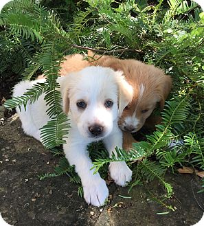Golden retriever mix puppies wi