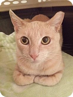 Domestic Shorthair Cat for adoption in Thornhill, Ontario - Caramel