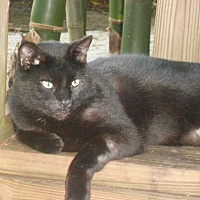 Domestic Shorthair Cat for adoption in Naples, Florida - Magnum