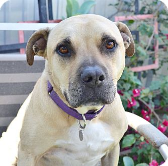 Labrador Retriever/American Pit Bull Terrier Mix Dog for adoption in Los Angeles, California - Trixie