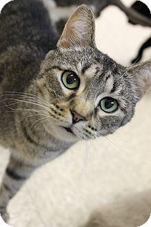 Domestic Shorthair Cat for adoption in Medina, Ohio - Shandy