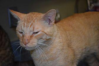 Domestic Shorthair Cat for adoption in Pottsville, Pennsylvania - Kreiger