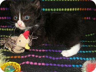 Domestic Shorthair Kitten for adoption in Yakima, Washington - Feral Kitten #1