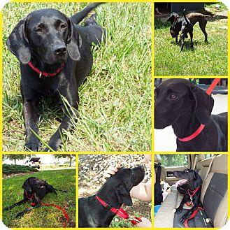 Weimaraner/Labrador Retriever Mix Dog for adoption in Inverness, Florida - AYRAH