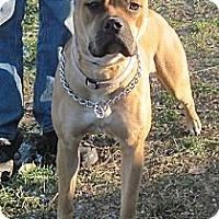 Adopt A Pet :: Freya - Roy, WA