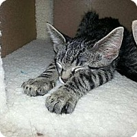Adopt A Pet :: Oliver and Milo - San Diego, CA