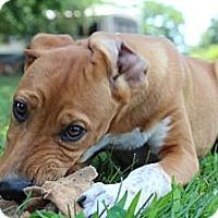Adopt A Pet :: Oprah - Allentown, PA