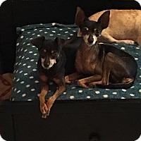 Adopt A Pet :: Lovey - Brooksville, FL