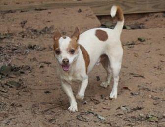 Chihuahua Mix Dog for adoption in Evans, Georgia - Chewbacca