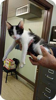 Domestic Shorthair Cat for adoption in Mt. Vernon, Illinois - Bambino