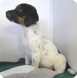 Anatolian Shepherd/Labrador Retriever Mix Puppy for adoption in Manning, South Carolina - Nickel