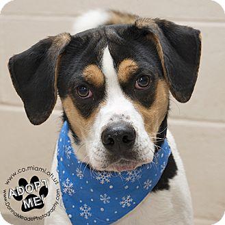 Hound (Unknown Type) Mix Dog for adoption in Troy, Ohio - Joker-URGENT