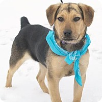 Beagle/Feist Mix Dog for adoption in Minneapolis, Minnesota - Adelaide
