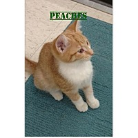 Adopt A Pet :: Peaches - Warren, OH