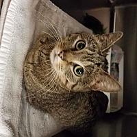 Adopt A Pet :: Sassafrass - Indianapolis, IN