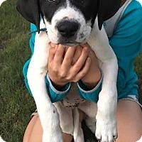 Adopt A Pet :: Puppy Angus - Austin, TX