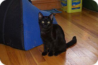 Domestic Shorthair Cat for adoption in Portland, Maine - Boston Blackie