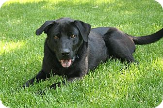 Labrador Retriever Mix Dog for adoption in Hamilton, Ontario - Floyd