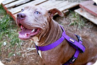 American Staffordshire Terrier/American Pit Bull Terrier Mix Dog for adoption in Irving, Texas - Lola