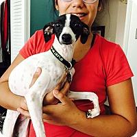 Adopt A Pet :: Fantasia in DFW area - Argyle, TX