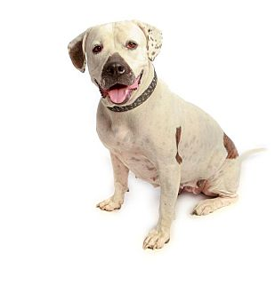 Pit Bull Terrier/American Bulldog Mix Dog for adoption in Scottsdale, Arizona - JERSEY GIRL: NO adoption fee
