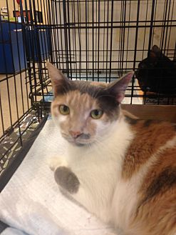 Calico Cat for adoption in Houston, Texas - Mimi
