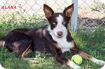 Border Collie/Australian Cattle Dog Mix Dog for adoption in Patterson, California - Alana