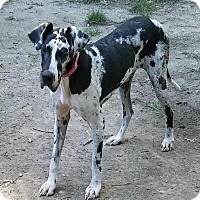 Adopt A Pet :: Chantel - Manassas, VA