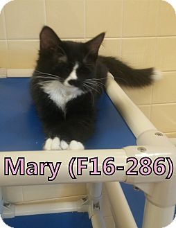 Domestic Mediumhair Kitten for adoption in Tiffin, Ohio - Mary