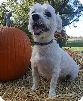 Maltese Mix Dog for adoption in Oakland, Michigan - Ricco