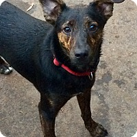 Adopt A Pet :: Poochie  IN CT - Manchester, CT