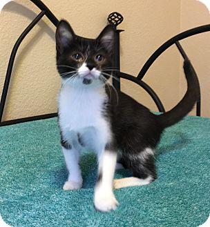 Domestic Shorthair Kitten for adoption in Plano, Texas - JANA - SWEET BOTTLE BABY