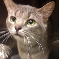 Domestic Shorthair Cat for adoption in Anderson, Indiana - Pisces