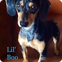 Adopt A Pet :: Lil' Boo - Los Angeles, CA