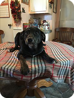 Labrador Retriever/Catahoula Leopard Dog Mix Puppy for adoption in Kittery, Maine - Bindy