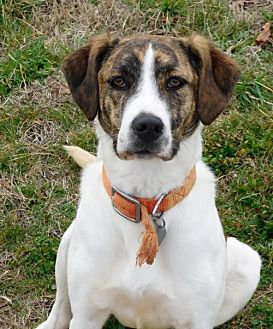 Hound (Unknown Type)/Labrador Retriever Mix Dog for adoption in Spartanburg, South Carolina - Deanna