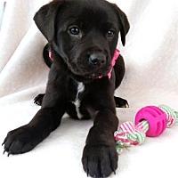 Adopt A Pet :: Ashley - Newark, DE