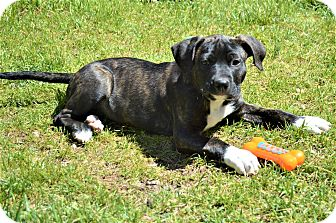 Labrador Retriever/Hound (Unknown Type) Mix Puppy for adoption in Charlotte, North Carolina - Barney