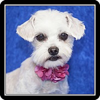 Adopt A Pet :: Sasha - San Diego, CA