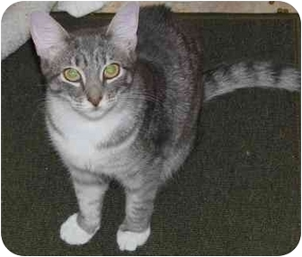 Domestic Shorthair Cat for adoption in Little Falls, New Jersey - Susie (MMc)