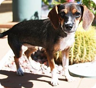 Beagle/Jack Russell Terrier Mix Puppy for adoption in Gilbert, Arizona - Anita