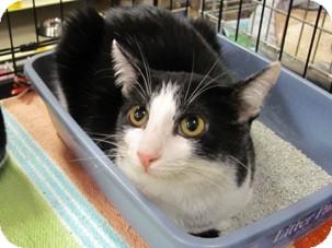 Domestic Shorthair Kitten for adoption in Diamond Bar, California - JESSIE